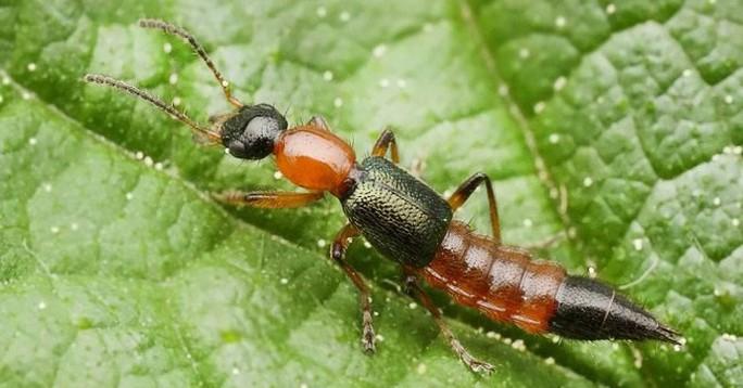 Bệnh Zona khác với viêm da do kiến ba khoang cắn - Ảnh 1.