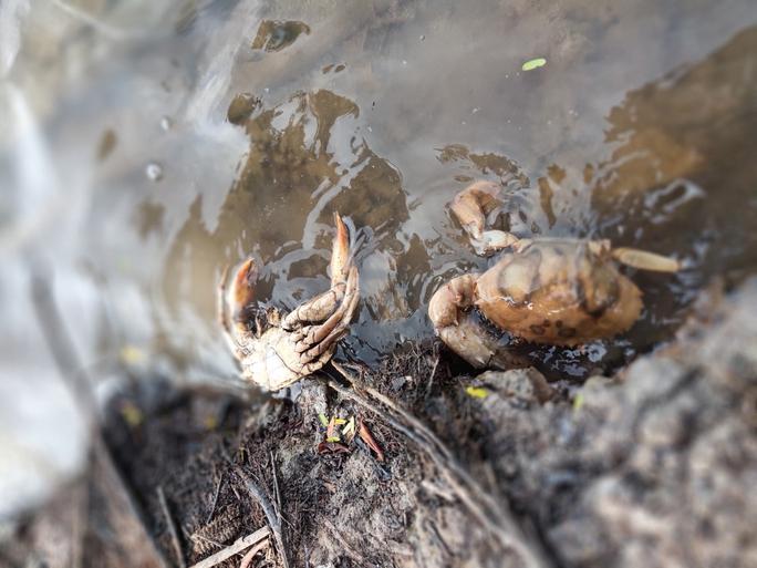 Sau khi có giá 1 triệu đồng/kg, cua biển ngon nhất miền Tây chết bất thường - Ảnh 5.