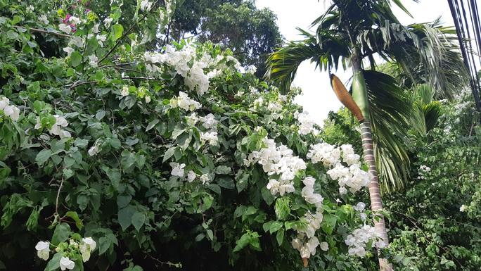 CLIP: Xót xa giàn hoa giấy tuyệt đẹp trong hoa viên bị cưa hạ - Ảnh 4.