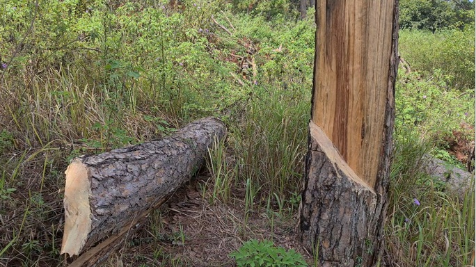 Xót xa hàng loạt cây thông trăm tuổi bị cưa hạ giữa Đà Lạt - Ảnh 3.