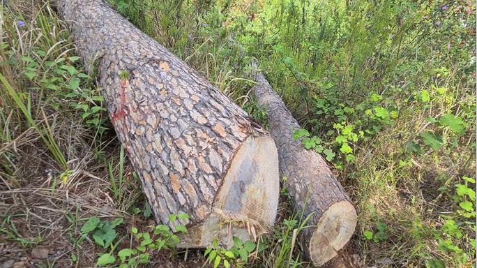 Xót xa hàng loạt cây thông trăm tuổi bị cưa hạ giữa Đà Lạt - Ảnh 7.