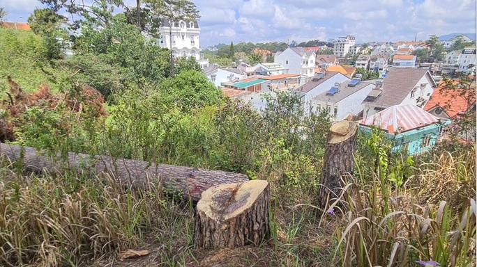 Xót xa hàng loạt cây thông trăm tuổi bị cưa hạ giữa Đà Lạt - Ảnh 8.