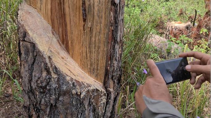 Xót xa hàng loạt cây thông trăm tuổi bị cưa hạ giữa Đà Lạt - Ảnh 4.