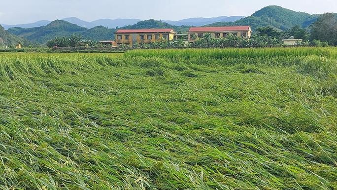 Mưa lớn, gần 3.000 hecta lúa của bà con nông dân Quảng Bình bị đổ rạp - Ảnh 1.