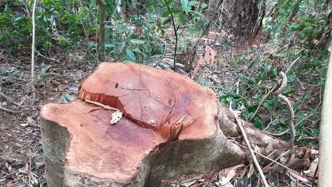 Để rừng bị triệt hạ như chốn không người, giám đốc tự nhận hình thức kỷ luật gì? - Ảnh 1.