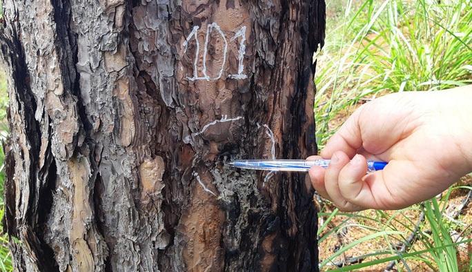 Cưa hạ hơn 6.700 cây thông chết ven đường - Ảnh 2.