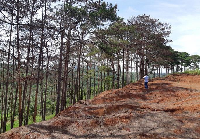 Cưa hạ hơn 6.700 cây thông chết ven đường - Ảnh 1.