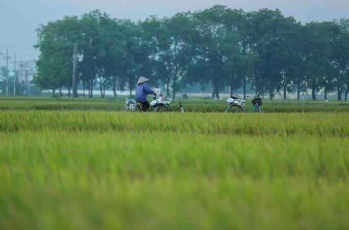 CLIP: Nắng đỉnh điểm, nông dân Hà Nội ra đồng gặt lúa vào ban đêm - Ảnh 4.