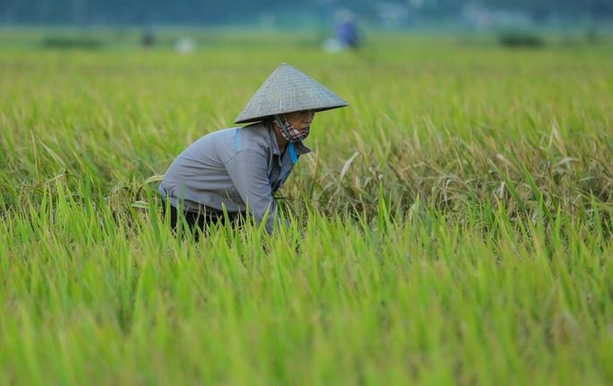 CLIP: Nắng đỉnh điểm, nông dân Hà Nội ra đồng gặt lúa vào ban đêm - Ảnh 5.