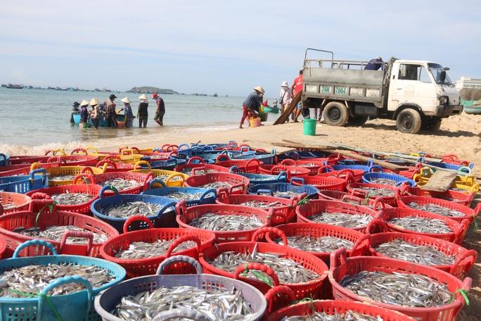 Ngư dân Bình Thuận trúng mùa cá cơm - Ảnh 1.
