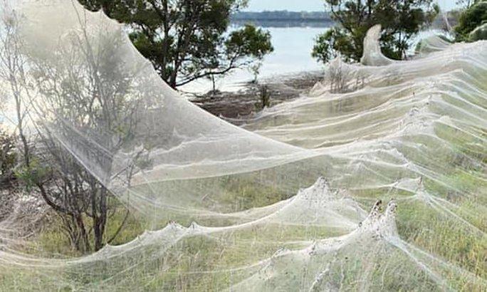 Mạng nhện khổng lồ kinh hồn ở Úc - Ảnh 1.