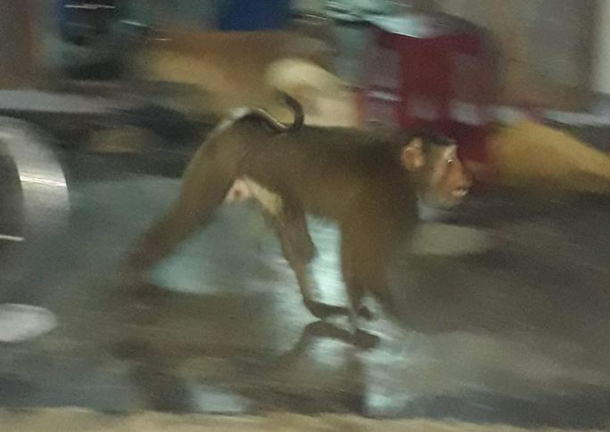 Khỉ quý hiếm đại náo, người dân Quảng Nam cười ra nước mắt - Ảnh 2.