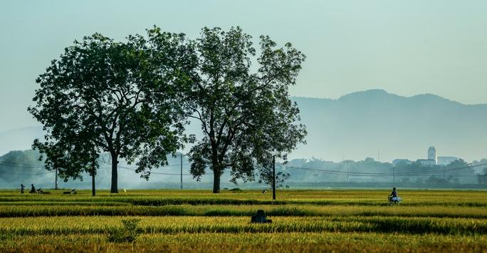 Ngỡ ngàng vẻ đẹp bình dị mùa lúa chín vùng ngoại ô Hà Nội - Ảnh 1.