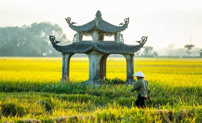 Ngỡ ngàng vẻ đẹp bình dị mùa lúa chín vùng ngoại ô Hà Nội - Ảnh 4.