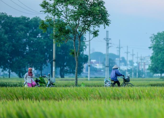 Ngỡ ngàng vẻ đẹp bình dị mùa lúa chín vùng ngoại ô Hà Nội - Ảnh 10.
