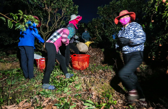 CLIP: Người dân Lục Ngạn thắp đèn thâu đêm thu hoạch vải - Ảnh 4.