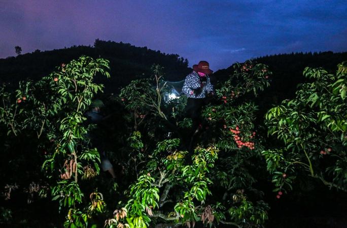 CLIP: Người dân Lục Ngạn thắp đèn thâu đêm thu hoạch vải - Ảnh 8.
