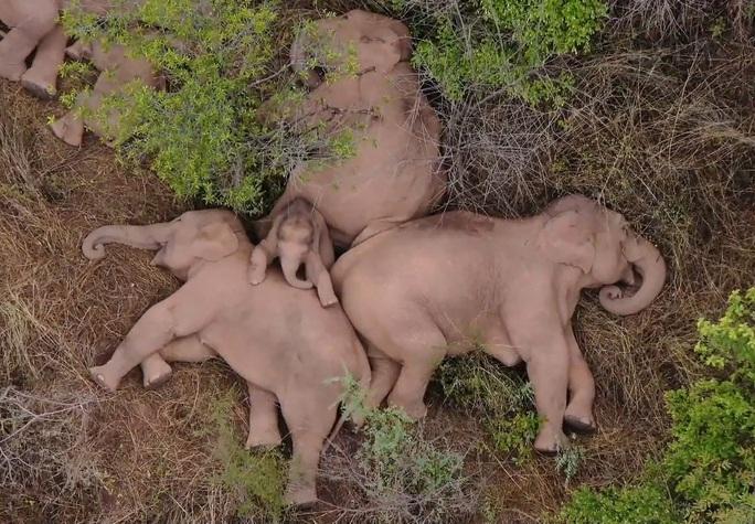 Trung Quốc: Đàn voi bất trị gây sốt vì ngủ trưa quá đáng yêu - Ảnh 2.