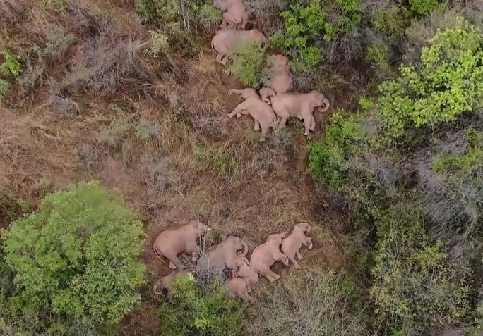 Trung Quốc: Đàn voi bất trị gây sốt vì ngủ trưa quá đáng yêu - Ảnh 3.