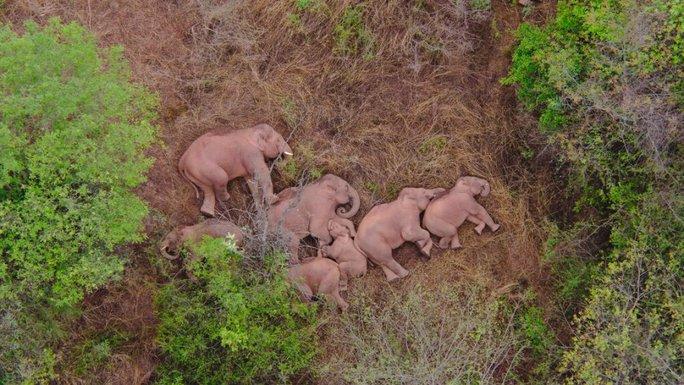 Trung Quốc: Đàn voi bất trị gây sốt vì ngủ trưa quá đáng yêu - Ảnh 4.