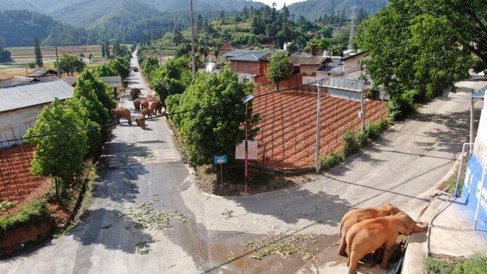 Trung Quốc: Đàn voi bất trị gây sốt vì ngủ trưa quá đáng yêu - Ảnh 8.