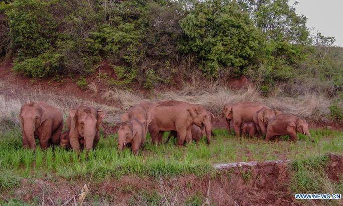 Trung Quốc: Đàn voi bất trị gây sốt vì ngủ trưa quá đáng yêu - Ảnh 9.
