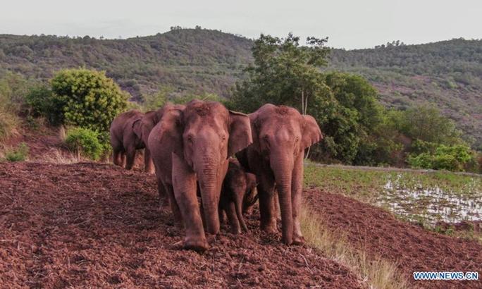 Trung Quốc: Đàn voi bất trị gây sốt vì ngủ trưa quá đáng yêu - Ảnh 10.