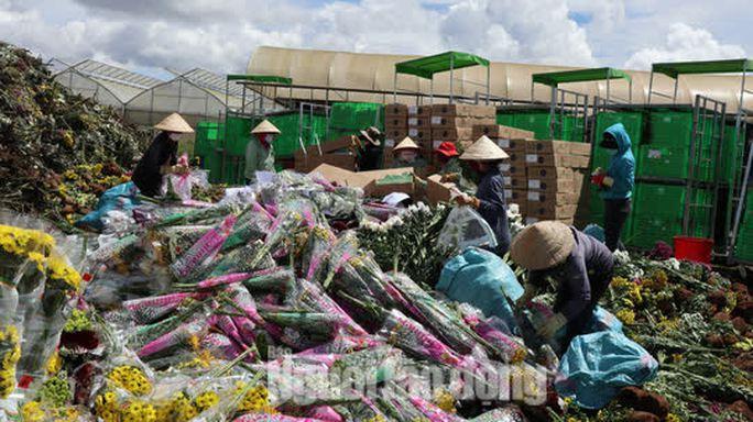 Hàng vạn cành hoa Đà Lạt xuất khẩu sang Úc buộc phải tiêu hủy - Ảnh 2.