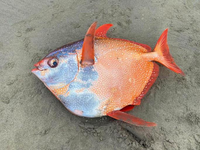 Loài cá gây chấn động khoa học dạt vào bờ biển - Ảnh 1.