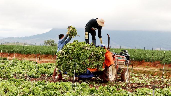Xót xa nông dân Đà Lạt nhổ bỏ hàng chục tấn rau, hoa vì không bán được - Ảnh 2.
