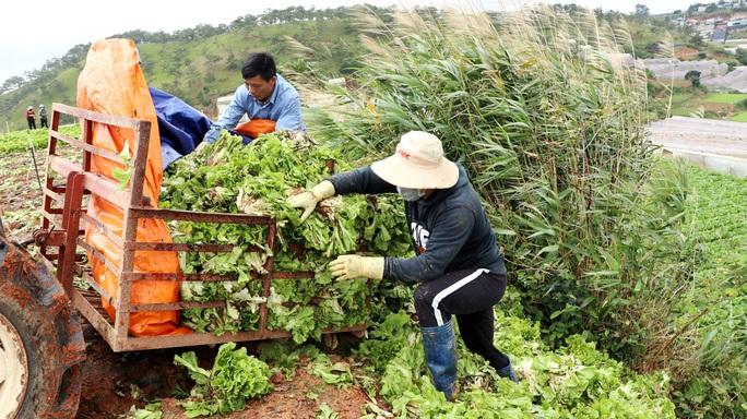 Xót xa nông dân Đà Lạt nhổ bỏ hàng chục tấn rau, hoa vì không bán được - Ảnh 5.