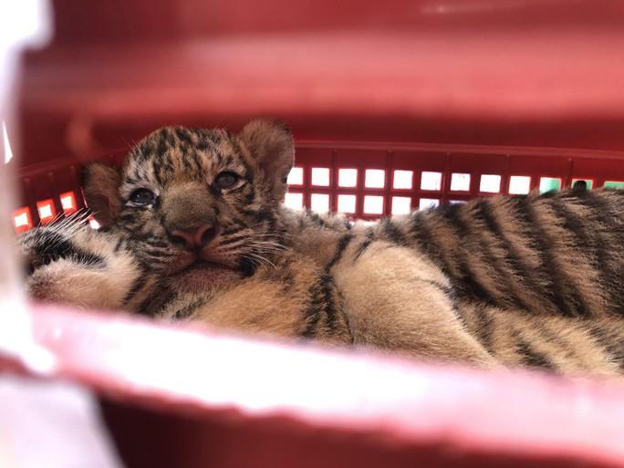 Bị phát hiện đang chở 7 con hổ sống, tông xe cảnh sát để bỏ chạy - Ảnh 2.
