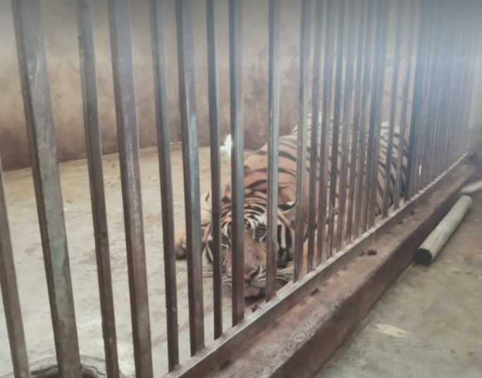 CLIP: Cận cảnh 17 con hổ lớn nuôi nhốt trái phép trong nhà dân - Ảnh 4.