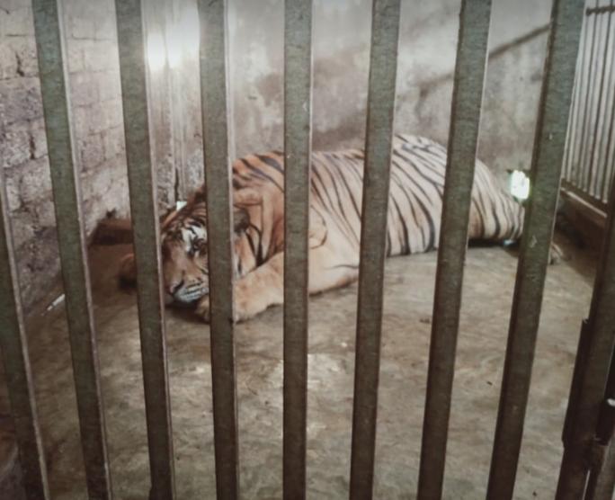 CLIP: Cận cảnh 17 con hổ lớn nuôi nhốt trái phép trong nhà dân - Ảnh 2.