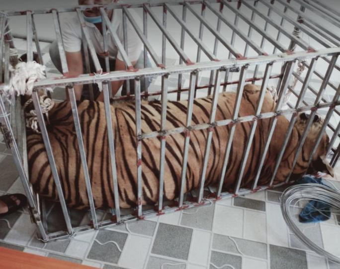 CLIP: Cận cảnh 17 con hổ lớn nuôi nhốt trái phép trong nhà dân - Ảnh 6.