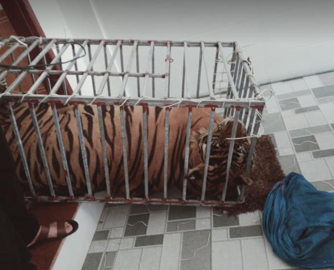 CLIP: Cận cảnh 17 con hổ lớn nuôi nhốt trái phép trong nhà dân