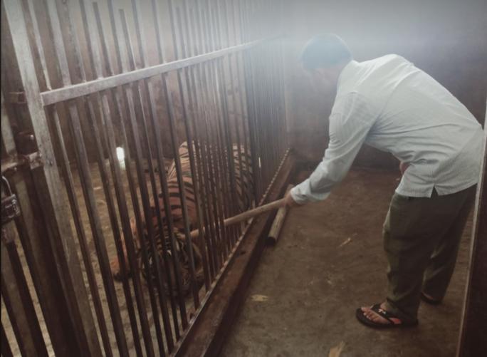 CLIP: Cận cảnh 17 con hổ lớn nuôi nhốt trái phép trong nhà dân - Ảnh 5.