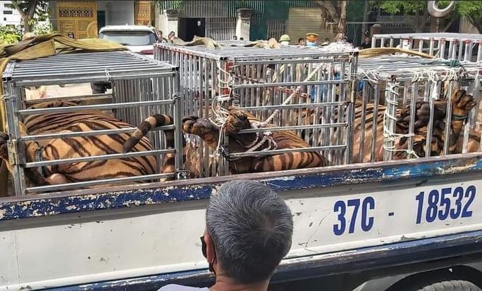 Phát hiện 17 con hổ lớn nuôi nhốt trái phép trong khu dân cư - Ảnh 1.