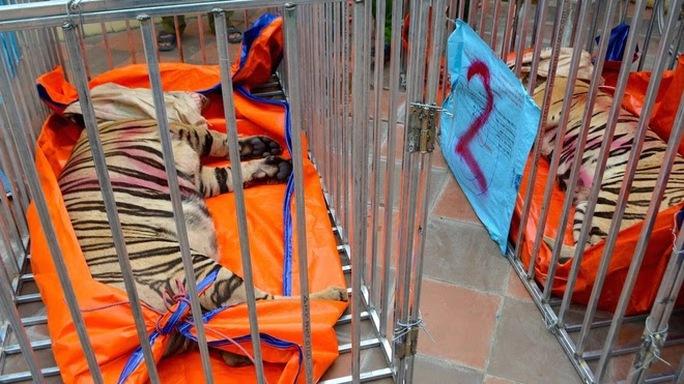Vụ phát hiện 17 con hổ lớn trong khu dân cư: 8 con hổ đã chết - Ảnh 1.