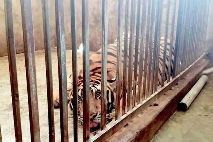 CLIP: Phó Giám đốc Công an tỉnh Nghệ An nói về vụ 17 con hổ trong khu dân cư - Ảnh 4.