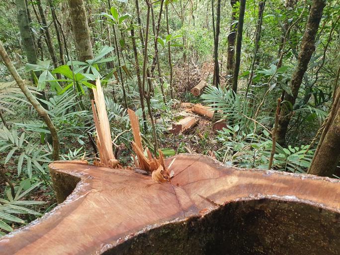 Cận cảnh tàn phá rừng nghiêm trọng ở Đắk Lắk - Ảnh 1.