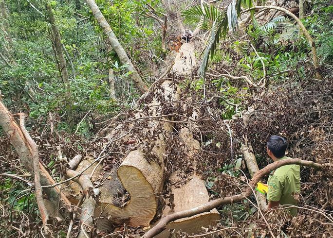 Cận cảnh tàn phá rừng nghiêm trọng ở Đắk Lắk - Ảnh 5.