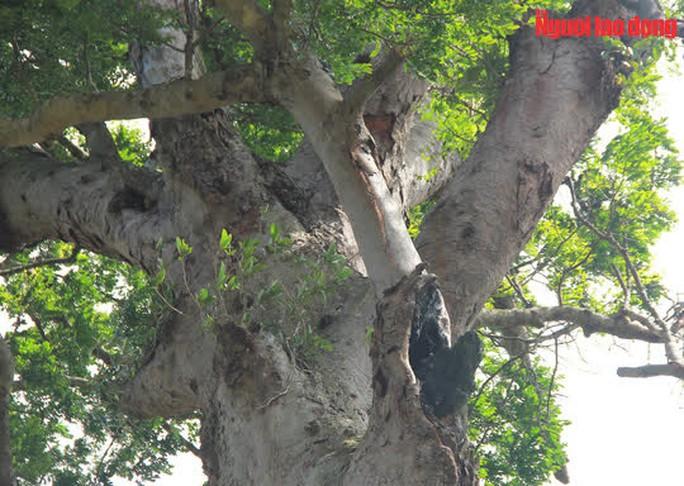Ngắm cụ lim xanh ngàn năm tuổi duy nhất ở xứ Thanh - Ảnh 13.