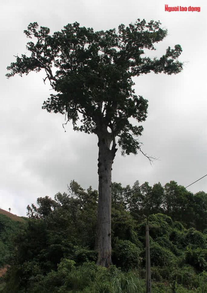 Ngắm cụ lim xanh ngàn năm tuổi duy nhất ở xứ Thanh - Ảnh 14.