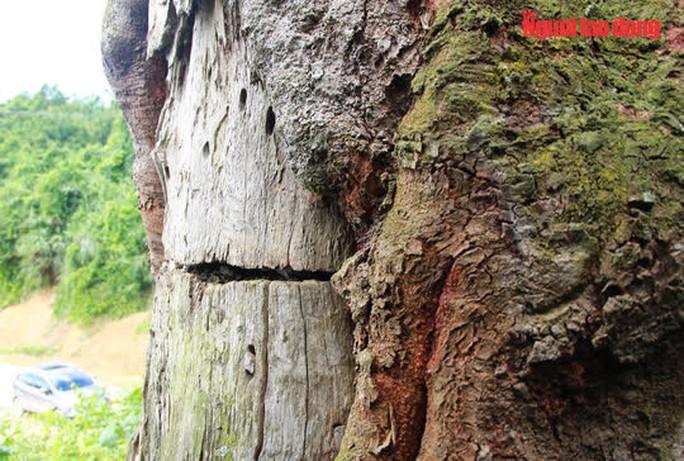 Ngắm cụ lim xanh ngàn năm tuổi duy nhất ở xứ Thanh - Ảnh 9.