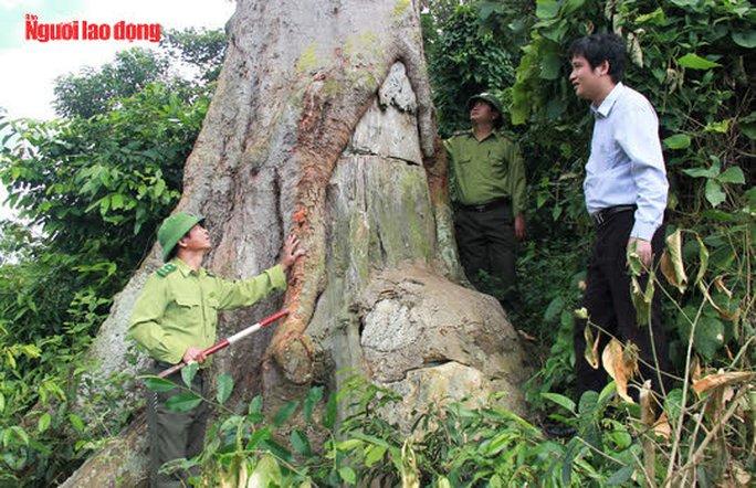Ngắm cụ lim xanh ngàn năm tuổi duy nhất ở xứ Thanh - Ảnh 5.