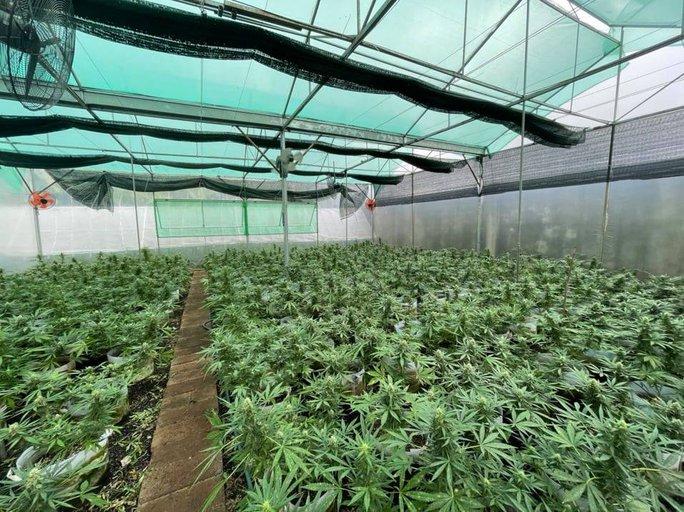 Từ Tiền Giang lên Đắk Lắk lập trang trại trồng cần sa - Ảnh 1.