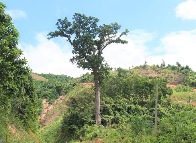 Khôi phục rừng lim xanh ở xứ Thanh - Ảnh 3.