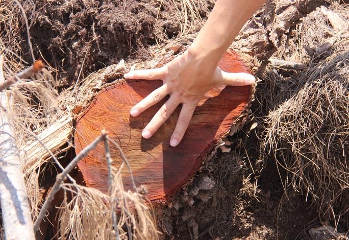 Bất thường trong báo cáo vụ phá 5,26 ha rừng phòng hộ ven biển Bình Định - Ảnh 3.