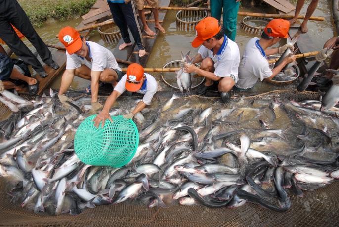 Những hình ảnh đẹp về cá tra từ ao nuôi đến nhà máy - Ảnh 7.